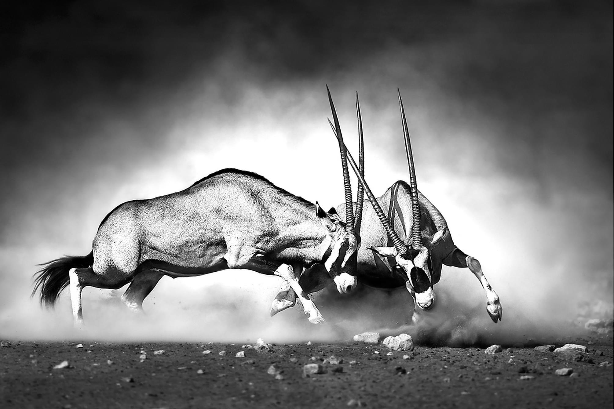 CANVAS Tavla Antelopes, Posters & tavlor