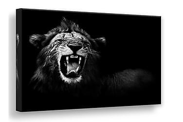 TAVLA Lion 75x100
