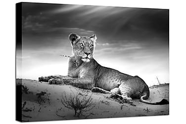 TAVLA Lioness 75x100